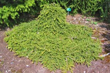 Hänggran, Picea abies 'Farnsburg' försommar
