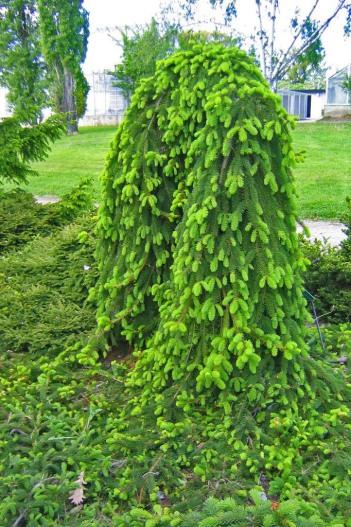 Hänggran, Picea abies 'Inversa' försommar