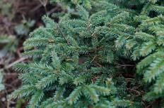 Krypgran, Picea abies 'Compacta' har korta barr