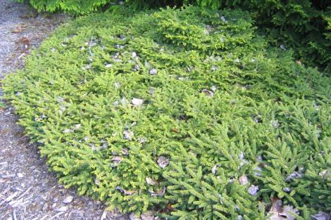Krypgran, Picea abies 'Compacta'