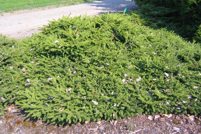 Krypgran, Picea abies 'Pumila Nigra'