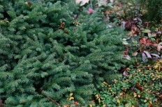 Krypgran, Picea abies 'Repens'