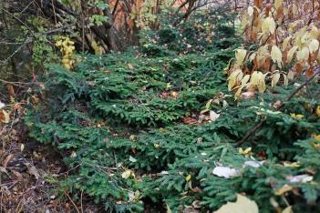 Krypgran, Picea abies 'Sargentii'