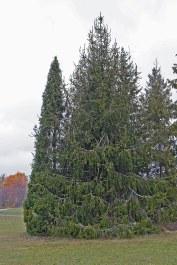 Ormgran, Picea abies f virgata
