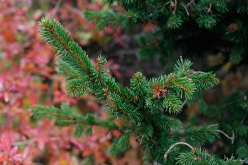 Pelargran, Picea abies 'Columnaris'