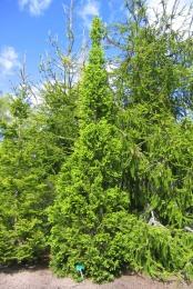 Pelargran, Picea abies 'Cupressina' försommar