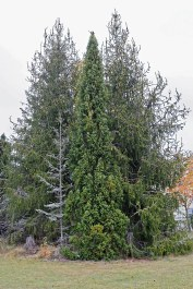 Pelargran, Picea abies 'Cupressina' höst