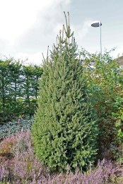 Pelargran, Picea abies 'Cupressina'