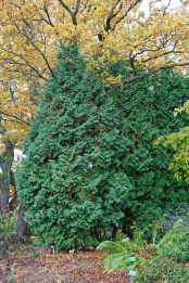 Pelartuja, Thuja occidentalis 'Columnea'