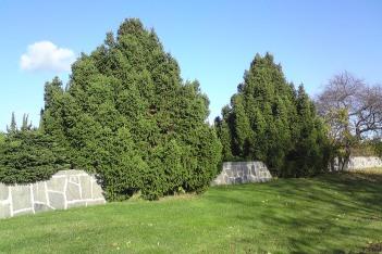 Pyramidgran, Picea abies 'Ohlendorffii'