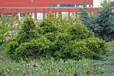 Pyramidgran, Picea abies 'Maxwellii' försommar
