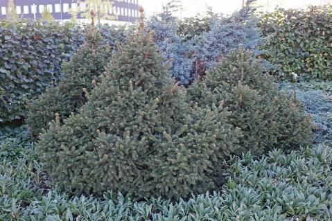 Pyramidgran, Picea abies 'Maxwellii' höst