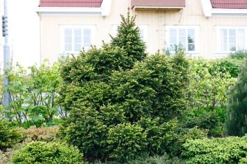 Pyramisgran, Picea abies 'Ohlendorffii', atypiskt bredväxande
