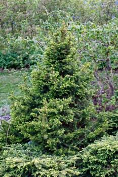 Pyramisgran, Picea abies 'Ohlendorffii'