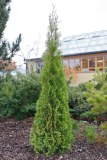 Smaragdtuja, nyplanterad