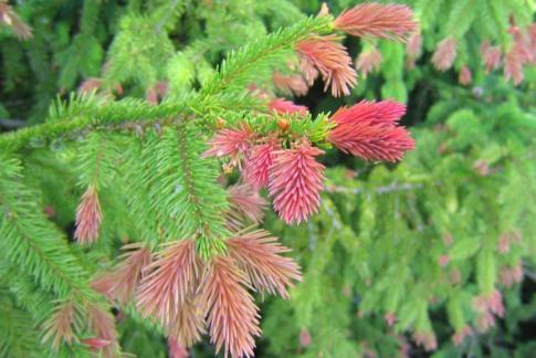 Smultrongran, Picea abies, har röda skott
