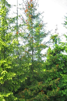 Smultrongran, Picea abies
