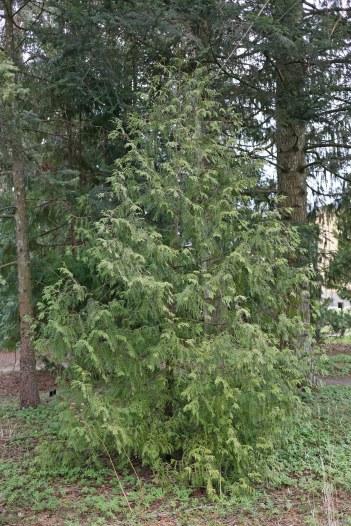 Vitbrokig tuja, Thuja occidentalis 'Alba' vår