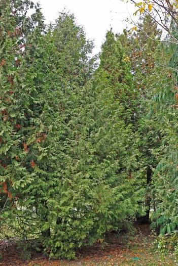 Thuja 'Elegantissima' på hösten (busken till vänster)