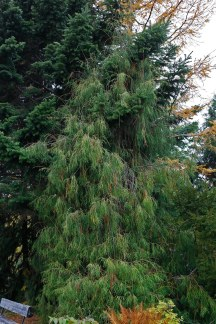Thuja 'Filiformis'