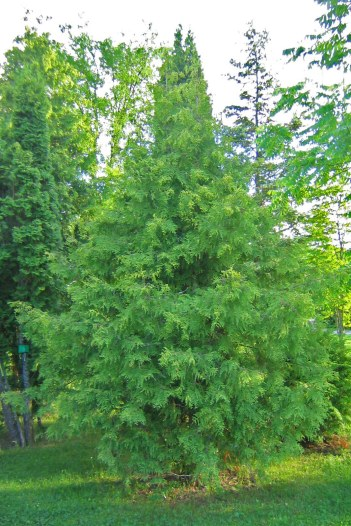 Vitbrokig tuja, Thuja occidentalis 'Alba'