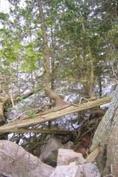 Grenar från nedfallna tujor växer upp till nya stammar. De skjuter också nya rötter om de har kontakt med marken.