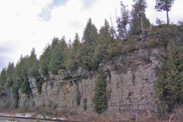 Thuja occidentalis, vildväxande i typisk miljö, Ontario