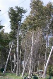 Thuja occidentalis, vildväxande i bestånd, Ontario