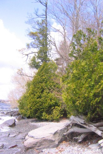 Thuja occidentalis, vildväxande vid Lake Ontario