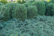Thuja 'Tiny Tim'
