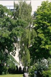 Hängbjörk