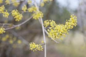 Blommor på körsbärskornell