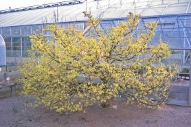 Körsbärskornell, Cornus mas, vår