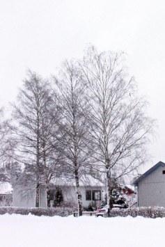 Vårtbjörk vinter, mellansvensk ekotyp