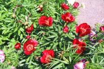 Hybridpion 'Burma Ruby'
