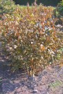 Hybridpion 'Coral Charm' höst
