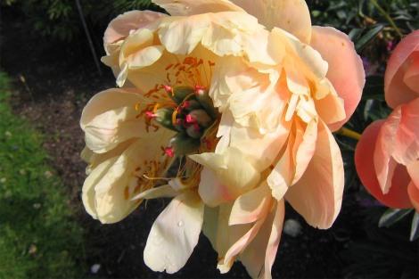 'Coral Charm' bleknar till ljust aprikos eller gult