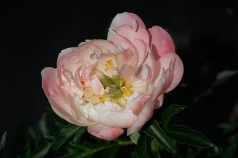 Hybridpion 'Pink Hawaian Coral'
