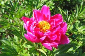 Luktpion 'Agida' blomma