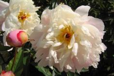 Luktpion 'Argentine' blom