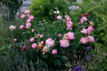Luktpion 'Bowl of Beauty'