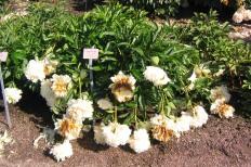 Luktpion 'Cheddar Cheese' blom