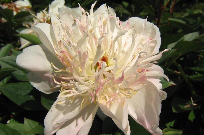 Luktpion 'Do Tell' blom