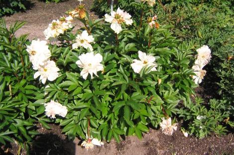 Luktpion 'Do Tell' i blom