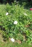 Luktpion 'Duc de Wellington' i blom