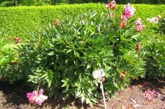 Luktpion 'Edulis Superba' i blom