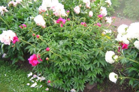 Luktpion 'Félix Crousse' i blom