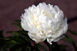 Luktpion 'Le Cygne' blom