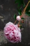 'Sarah Bernhardt' odlad på mur