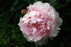 Luktpion 'Sarah Bernhardt' får väl fyllda blommor
